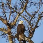 """Good Morning Mr. Bald Eagle"" by DarrinAldridge"
