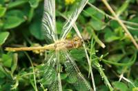Yellow Dragonfly on Grass