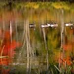 """""""Warren Lake Geese Reflections"""" by bavosiphotoart"""