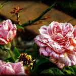"""""""Trio in Pink"""" by ChrisCrowley"""