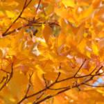 """Golden Orange Autumn Leaves Fall Trees art prints"" by BasleeTroutman"
