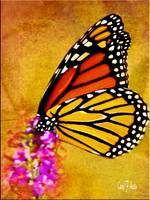 Monarch Butterfly Color Splash