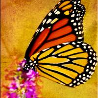 Monarch Butterfly Color Splash Art Prints & Posters by Carol F Austin