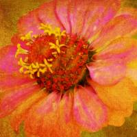 Zinnia with Pink Petals Art Prints & Posters by Carol F Austin