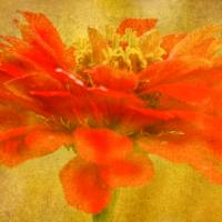 Zinnia Color Splash Art Prints & Posters by Carol F Austin