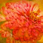 """Pink Zinnia Flower Picture"" by PhotographsByCarolFAustin"