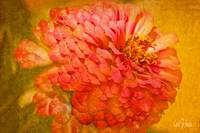 Zinnia Flower Picture Floral Wall Art Print