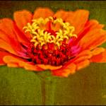 """Orange and Yellow Zinnia Flower Picture"" by PhotographsByCarolFAustin"
