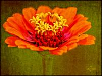 Orange and Yellow Zinnia Floral Wall Art Print