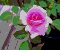 Pink Potted Rose Enhanced