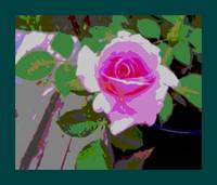 Pink Potted Rose Enhanced large border