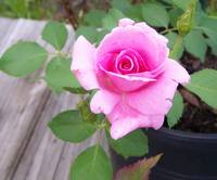 Pink Potted Rose