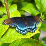 """Red Spotted Purple Butterfly"" by hannahsview"