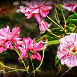 """""""Glorious Garden"""" by ChrisCrowley"""