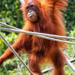 """Orangutan"" by klingon65"