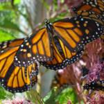 """""""Monarch Butterflies nature art prints Butterfly Ga"""" by BasleeTroutman"""