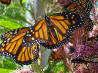 Monarch Butterflies nature art prints Butterfly Ga