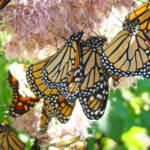 """""""Butterflies art prints Monarch Butterflies nature"""" by BasleeTroutman"""