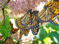 Butterflies art prints Monarch Butterflies nature