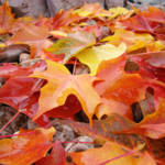 """""""Autumn Leaves Fall Trees art prints Red Orange Yel"""" by BasleeTroutman"""