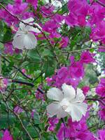 Hawaiian Hibiscus and Bougainvillea