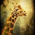 """Giraffe"" by JPMcCool"