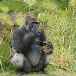 """Silver Back Gorilla"" by tracilawphotography"