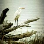 """Egret on tree Stump"" by JPMcCool"