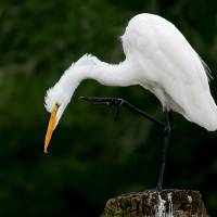 Great Egret Art Prints & Posters by Joan McCool