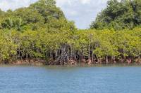 Mangrove swamp in the estuary