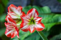 colourful Amaryllis