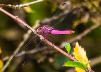 delicate purple dragonfly