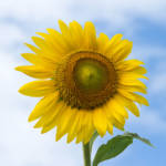 """Sun Flower Against Blue Sky"" by ValeriesGallery"