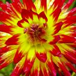 """Red and Yellow Dahlia close up"" by memoriesoflove"