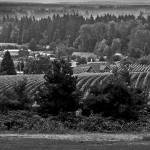 """Vineyard In Oregon"" by memoriesoflove"
