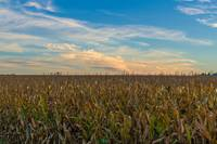 New York Corn Fields