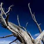 """Dead tree at the Grand Canyon Ridge"" by leofleck"