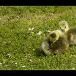 """""""Goslings_MG_0117"""" by WhyteLight"""