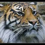 """""""Sumatran Tiger"""" by WhyteLight"""