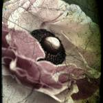 """Ranunculus, weathered and aged image"" by Linde"