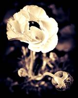 Ranunculus tinted Sepia, #4 of Series
