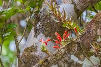 flowering Bromelia in a tree