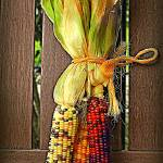 """Indian Corn"" by ArtByRuta"