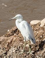 snowy egret on the river bank
