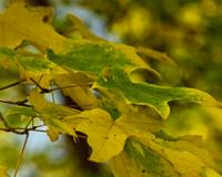 Yellowing Maples