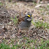 yellow crowned sparrow