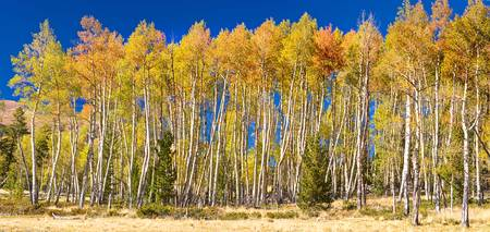 Colorful Aspen Panorama