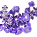 """""""Salvia"""" by xbeautifulcoma"""