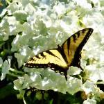 """Swallowtail on White Hydrangea"" by susansartgallery"