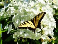 Swallowtail on White Hydrangea